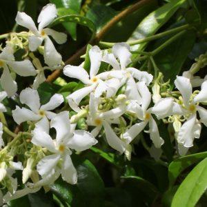 climbing plants – confederate jasmine